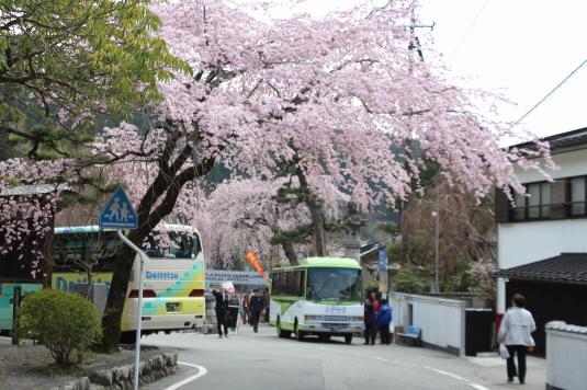桜 久遠寺 しだれ桜 三門前バス