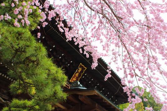 桜 久遠寺 三門と桜