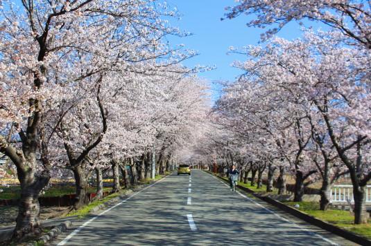 憩いの桜通り まっすぐ