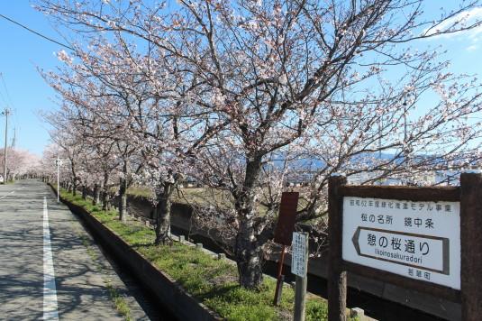 憩いの桜通り 入口