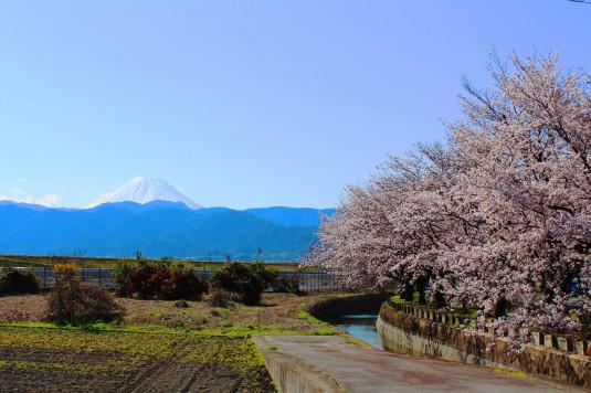 憩いの桜通り 富士山 外