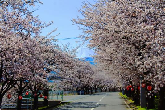 憩いの桜通り 富士山 中