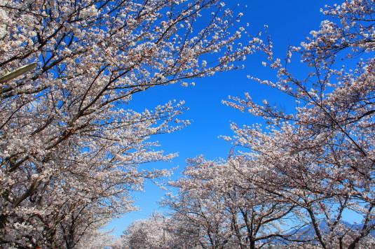 憩いの桜通り 空