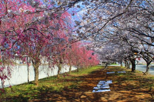憩いの桜通り ピンク