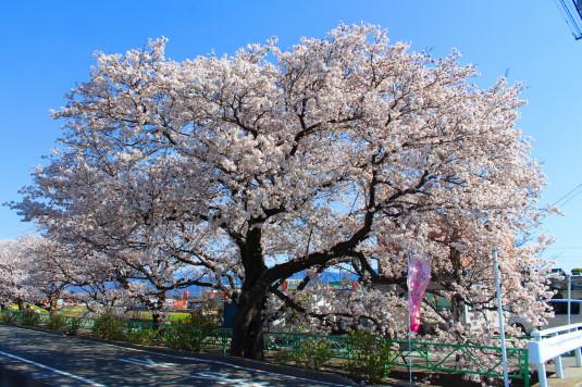 桜 山伏川桜並木 桜