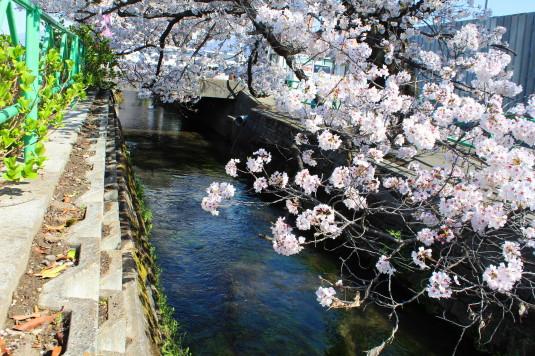 桜 山伏川桜並木 川
