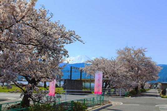 桜 山伏川桜並木 富士山