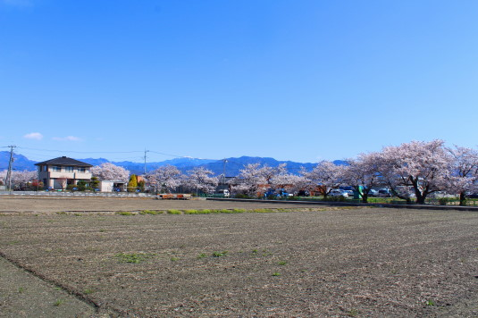 桜 山伏川桜並木 全体