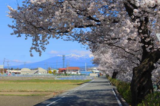 桜 山伏川桜並木 八ヶ岳