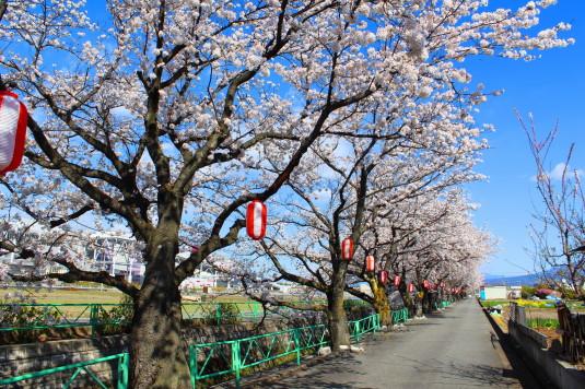桜 山伏川桜並木 道