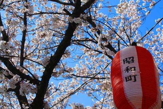 桜 山伏川桜並木 提灯
