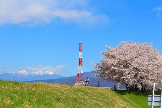 桜 荒川下流 八ヶ岳