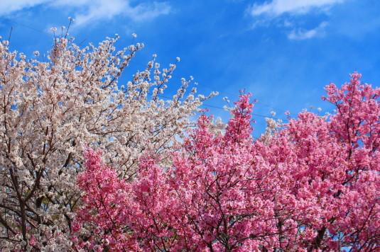 桜 荒川下流 2種の桜