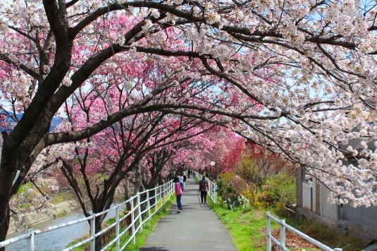 桜 貢川 東側