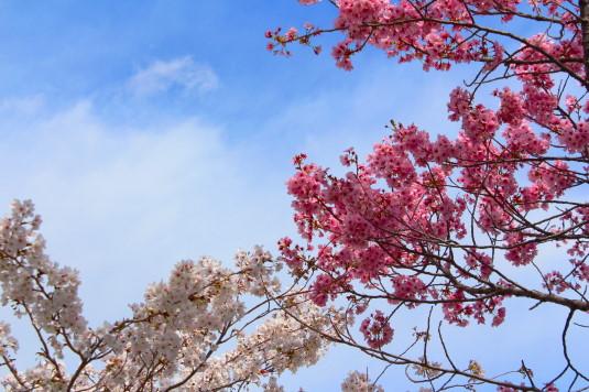 桜 貢川 白とピンク