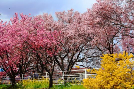 桜 貢川 春の花