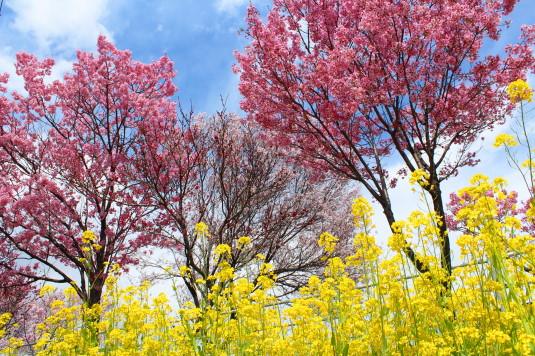 桜 貢川 桜と菜の花