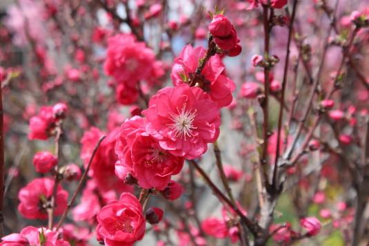 桜 貢川 春の花 アップ