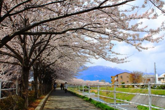 桜 貢川 西側