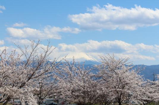 桜 ドラゴンパーク 桜と富士山
