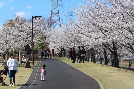 桜 ドラゴンパーク 遊歩道