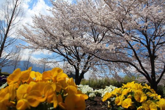 桜 ドラゴンパーク 桜と花