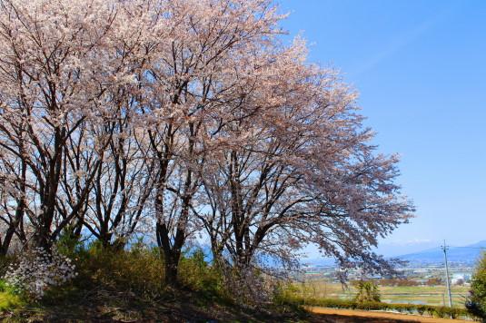 桜 中央市高部 近く