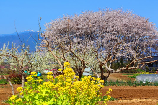 桜 中央市高部 菜の花