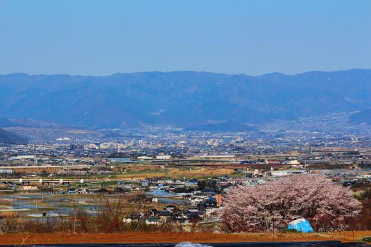 桜 中央市高部 後ろから
