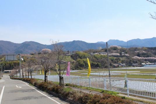 桜 中央市高部 遠くから