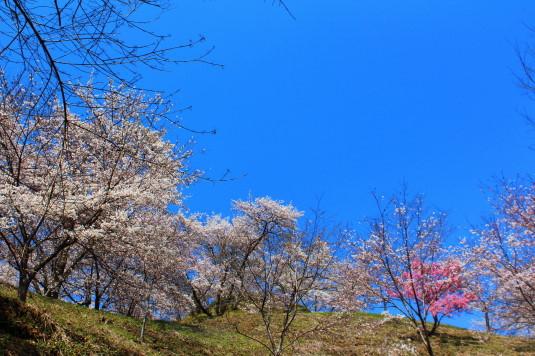 桜 勝山城跡 頂上見える