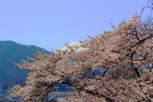 桜 勝山城跡 桜と富士山