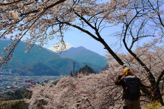 桜 勝山城跡 桜と富士山 人