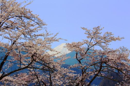 桜 勝山城跡 本丸 富士山