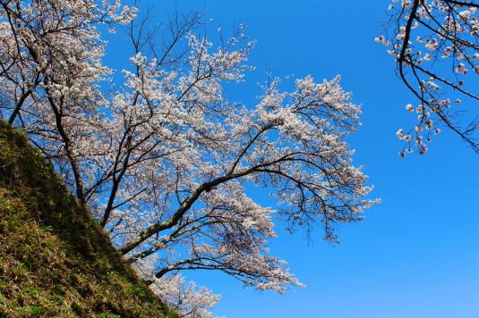 桜 勝山城跡 斜面の桜