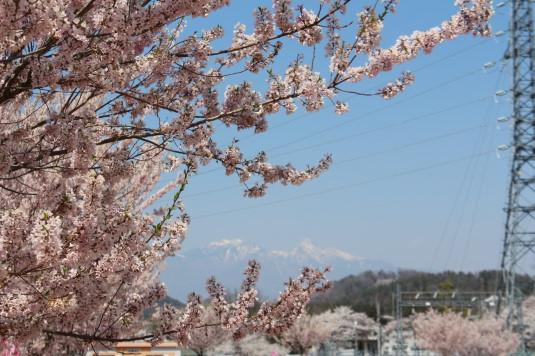 穴山さくら公園 桜