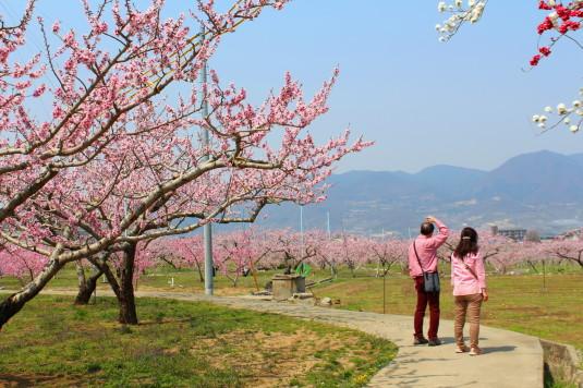 まるきた花桃園 ピンク