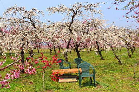 まるきた花桃園 椅子