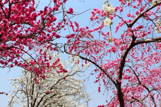 まるきた花桃園 色とりみどり