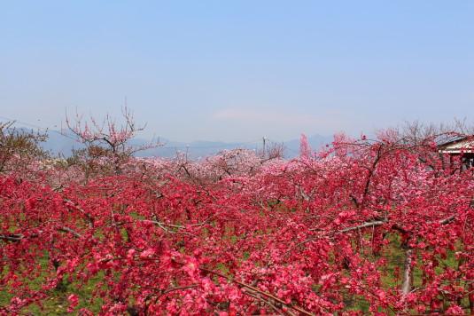 まるきた花桃園 濃いピンク