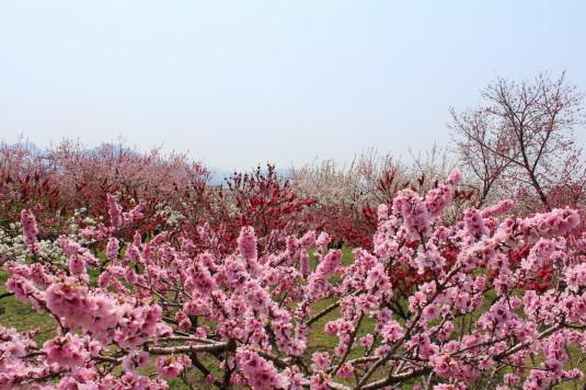 まるきた花桃園 薄いピンク