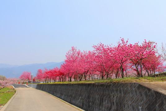 まるきた花桃園 中国桃
