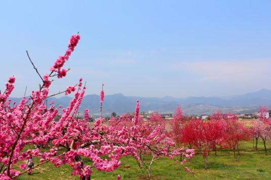 まるきた花桃園 中国桃 全体