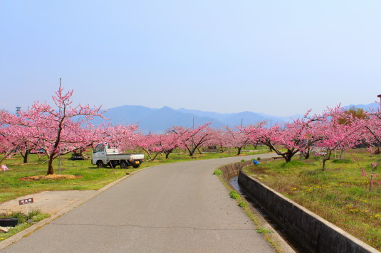 まるきた花桃園 桃畑