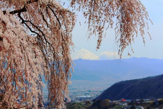 桜 乙ヶ妻 富士山