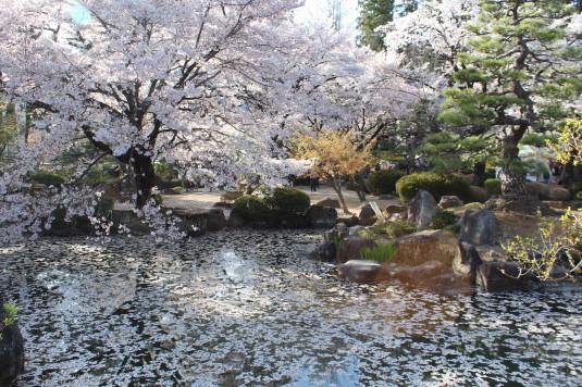 信玄公忌 桜の花
