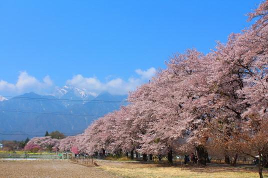 真原の桜並木 甲斐駒ケ岳と桜並木