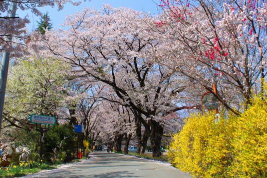 真原の桜並木 入口