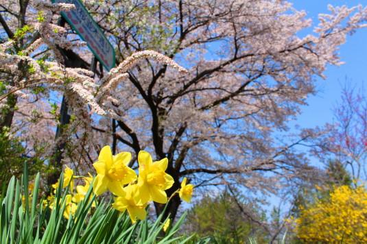 真原の桜並木 入口 水仙
