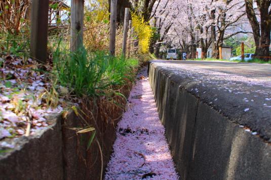 真原の桜並木 側溝